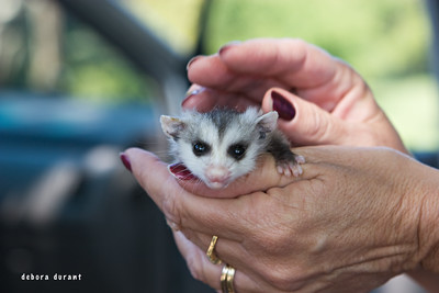 baby opossum being rehabbed by feathers and friends
