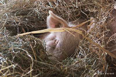 wilbur snuggled in the hay