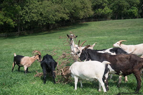 goats munching on the dead leaves