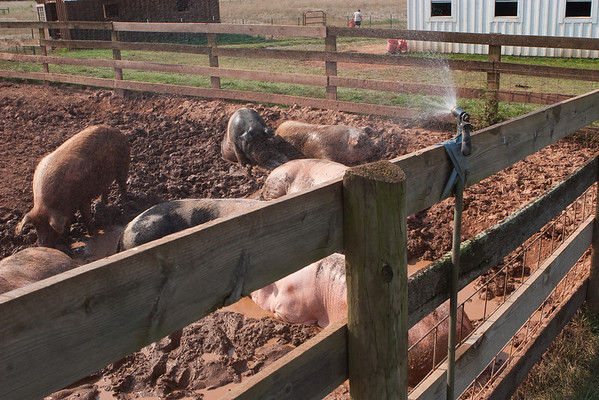 Cooling station in the pig yard at psas